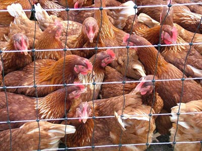 Bird Flu hits Kano, few days after it was reported in Lagos