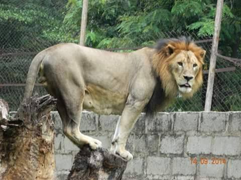 Panic in Kano as lion escapes from  Zoological garden