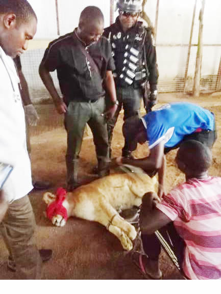 LASG sedates, removes lion from Victoria Island house