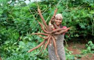 Nigeria approves new names for top-performing cassava varieties